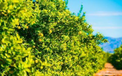 El Limonero: Todo lo que Debes Saber
