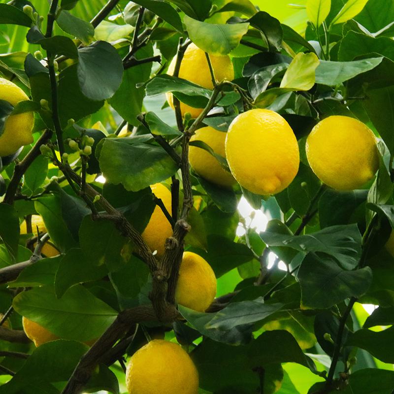 limones en el limonero