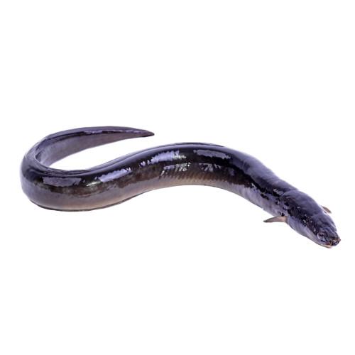 anguila