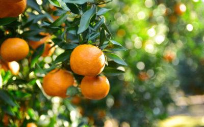 Mandarino: árbol de la mandarina