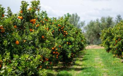 Temporada de Naranjas: calendario de cada variedad
