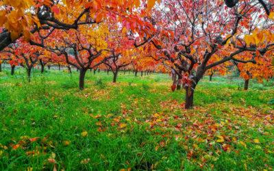 Caqui árbol: Todo lo que necesitas saber de este fruto