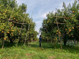 cuidados del naranjo