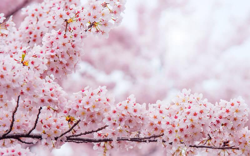 Flor de Cerezo: Increíbles propiedades