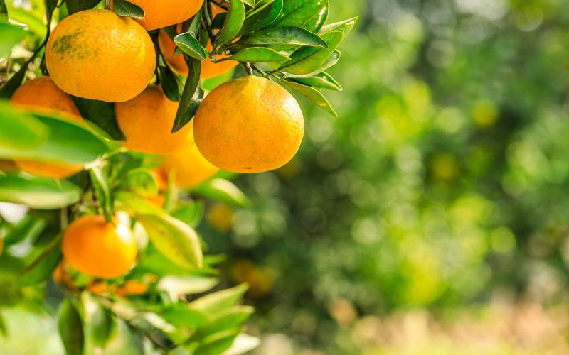 época de mandarinas
